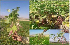 بذر لوبیا چیتی غفار