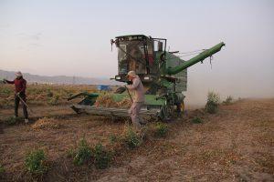 خرید لوبیا چیتی از کشاورز
