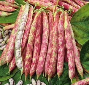 خرید لوبیا چیتی عمده ایرانی