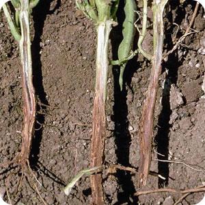 فوزاریومی ریشه لوبیا