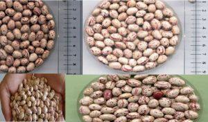 بذر لوبیا چیتی کوشا